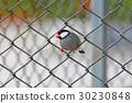Java sparrow Java finch Cute Birds of Thailand 30230848