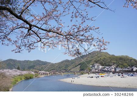 櫻花和Kintai-kyo橋 30248266