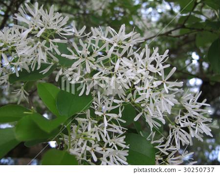 Tassel flower 30250737