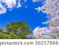 【야마나시 현】 벚꽃 나무 30257666