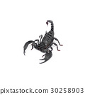 Scorpion isolated on white background 30258903