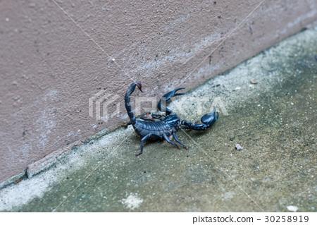 Asian black scorpion concrete floor background 30258919