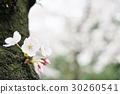 ดอกซากุระบาน,ซากุระบาน,ฤดูใบไม้ผลิ 30260541