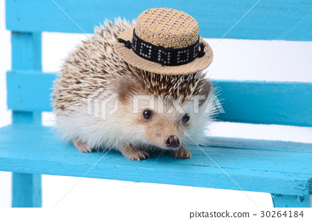 Hedgehog with small hat. 30264184