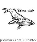 baleen whale - vector illustration  30264927