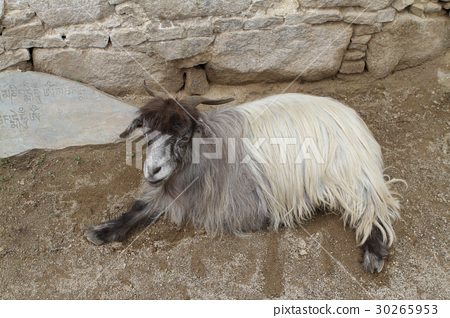 Ordinary goat 30265953