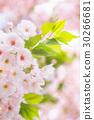 ฤดูใบไม้ผลิ,ดอกซากุระบาน,ซากุระบาน 30266681