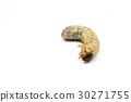 Larva of Oryctes rhinoceros 30271755