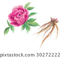 Flowers and roots of peony 30272222