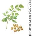 cilantro, coriander, chinese 30272223
