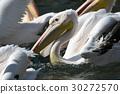 pelican, pelicans, shorebird 30272570