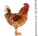 Rooster on white, live chicken, one farm animal 30289959