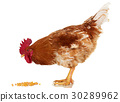Rooster on white, live chicken, one farm animal 30289962