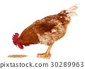 Rooster on white, live chicken, one farm animal 30289963