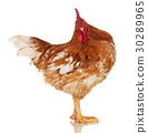 Rooster on white, live chicken, one farm animal 30289965