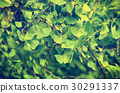Leaves of Gingko Biloba 30291337