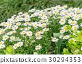 雏菊 菊科 紫菀科的 30294353