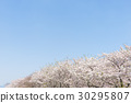 桜並木と青空 30295807