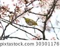 绣眼雀 樱花 樱桃树 30301176