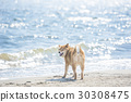 Shiba狗转过身,海回来 30308475