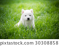 siberian husky puppy playing on green grass 30308858
