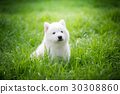 siberian husky puppy playing on green grass 30308860
