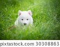 siberian husky puppy playing on green grass 30308863