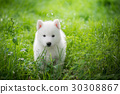 siberian husky puppy playing on green grass 30308867