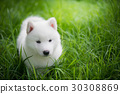 siberian husky puppy playing on green grass 30308869