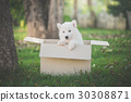 Cute siberian husky sitting in a box at the park 30308871