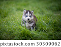 siberian husky puppy standing on green grass 30309062