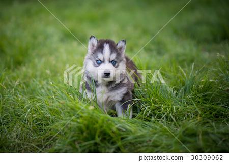 siberian husky puppy standing on green grass 30309062