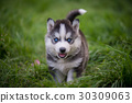 siberian husky puppy standing on green grass 30309063