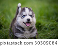 siberian husky puppy standing on green grass 30309064
