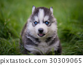 siberian husky puppy standing on green grass 30309065