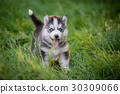 siberian husky puppy standing on green grass 30309066