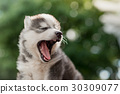 Blue eyes siberian husky puppy yawning 30309077