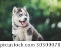siberian husky puppy with bokeh sunlight 30309078