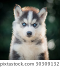 siberian husky puppy with bokeh sunlight 30309132