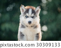 siberian husky puppy closed one eye with bokeh sunlight backgrou 30309133