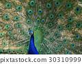 孔雀 动物 鸟儿 30310999
