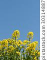 満開の菜の花と青空のコピースペース 30314887