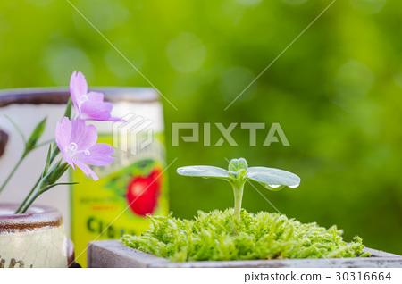 Sunflower seedlings and flowers of Nadesico 30316664