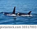 killer, whale, shiretoko 30317003