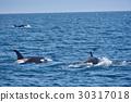 killer, whale, shiretoko 30317018