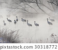 Cranes in the river 30318772