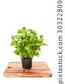 basil, green, herb 30322809