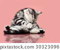 kitten 30323096