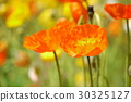 poppy, orange, oranges 30325127