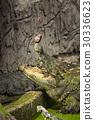 Crocodile feeding, crocodile eating a fish 30336623